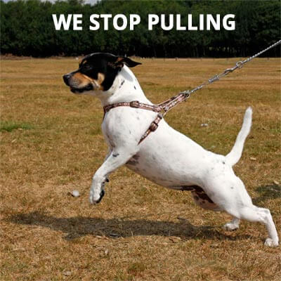 small-dog-pulling-lead-20615353