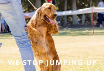 Cocker-spaniel-jumping-up