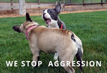 French-Bulldog-aggression-01