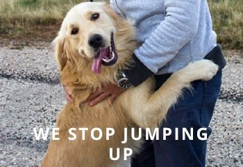 Golden-Retriever-Dog-Jumping-How-to-stop-It