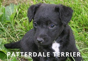 Patterdale-Puppy