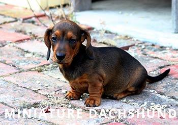 Smooth_Miniature_Dachshund_puppy