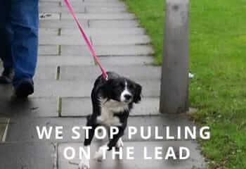 collie-pulling-on-lead
