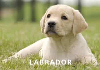 yellow-labrador-puppy-garden