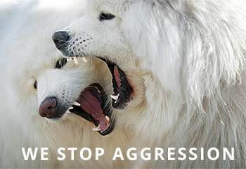 Samoyed-Aggression