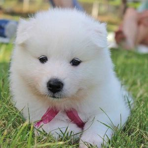 Samoyed-Puppy