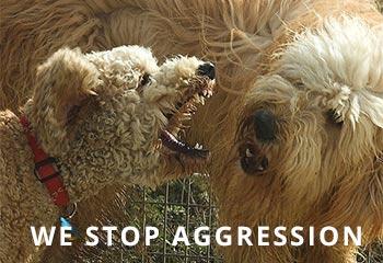 goldendoodle-aggression