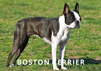 Boston-Dog-Soliloquy