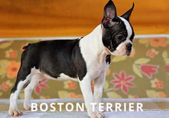 Boston-Puppy-Soliloquy