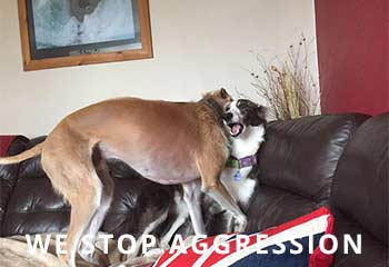 Lurcher-Aggression