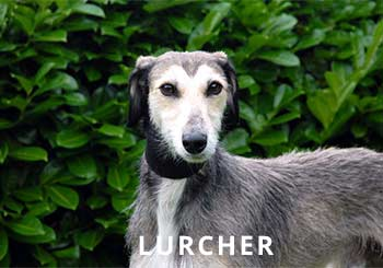 Lurcher-Soliloquy-Dog