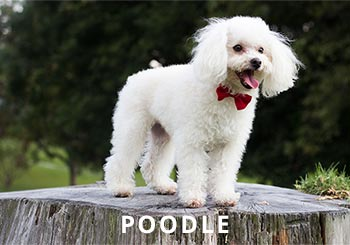 Poodle-Soliloquy