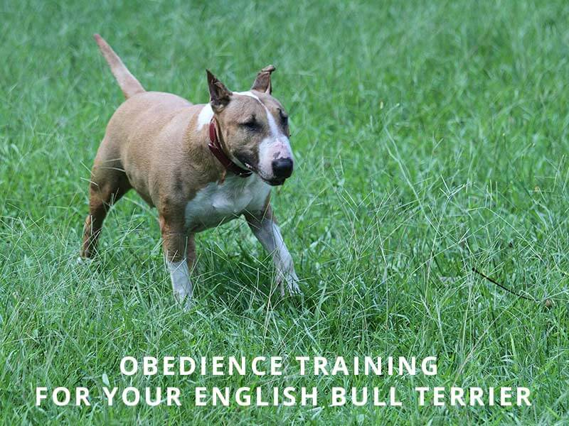 English Bull Terrier Dog & Puppy 1-2-1 Training For