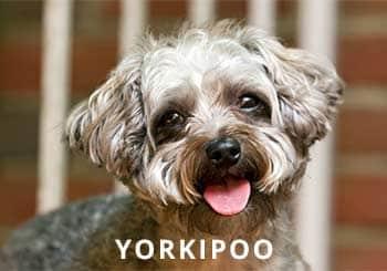 Yorkipoosoliloquy-dog