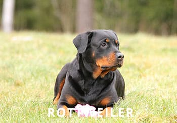 Breeds-Trained-Rottie