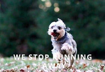 Chorkie-running