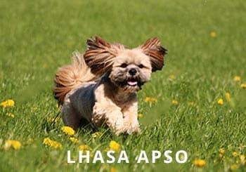 Lhasa-Apso