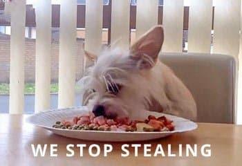 Stealing-Chorkie