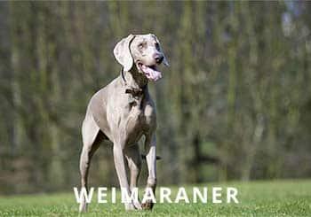 Weimaraner-Soliloquy