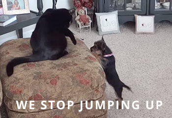 chorkie-jumping-up