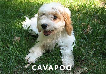 Cavapoo-Puppy-soliloquy-1.jpg