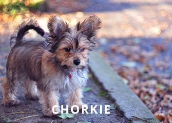 Chorkie-puupy-Soliloquy