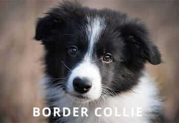 Collie.jpg