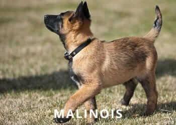 Malinois-Puppy