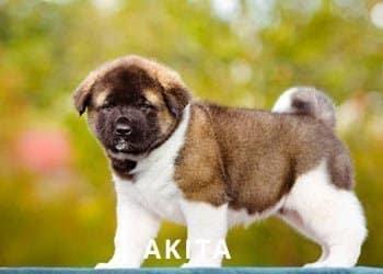 Soliloquy-Akita-Puppy