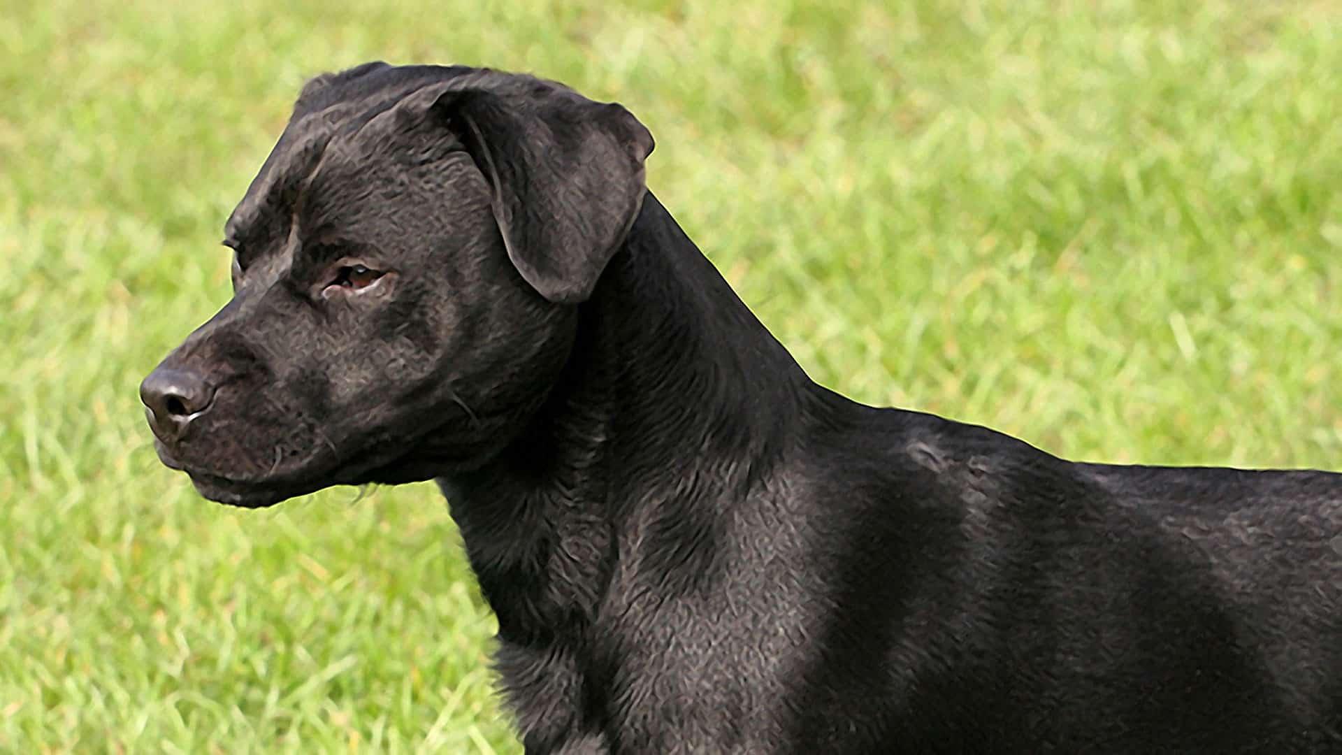patterdale-terrier