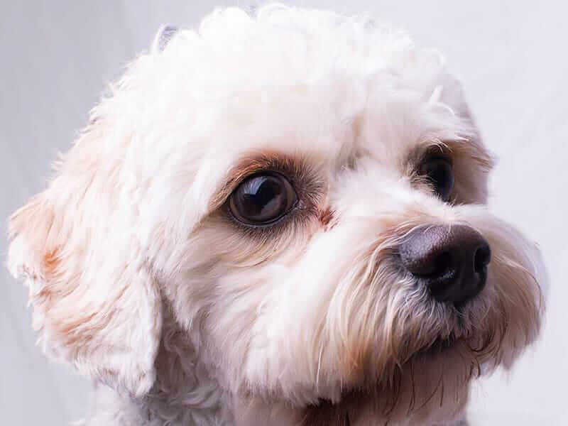 Cavapoo-puppy