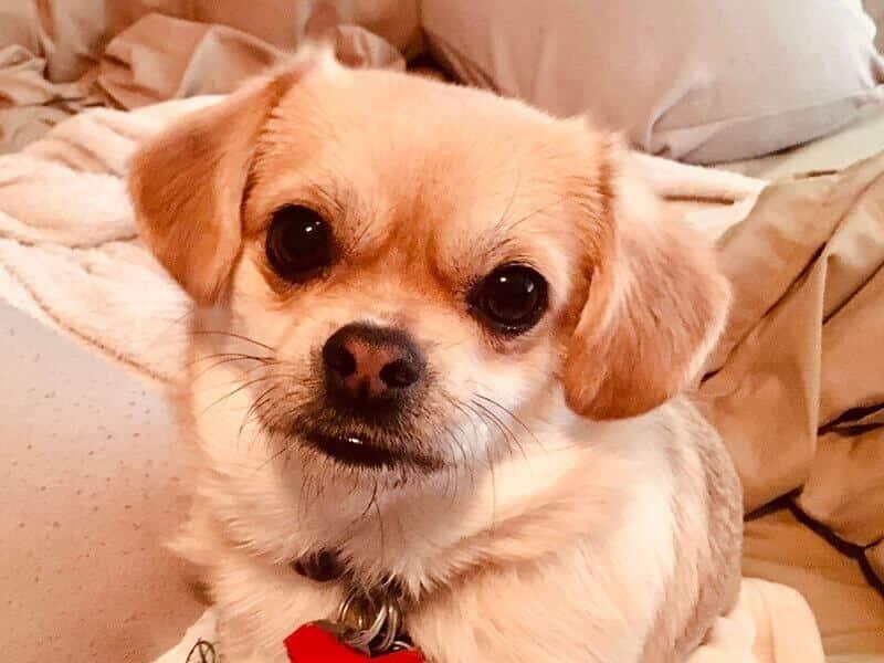 Puggle-Puppy