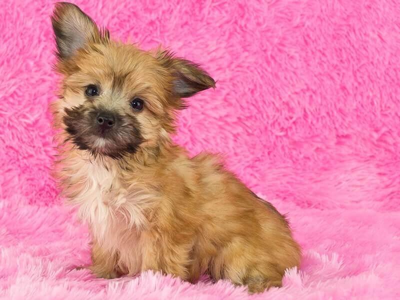 Yorkipoo-puppy