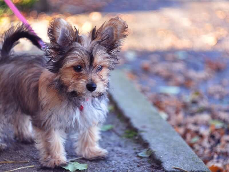 chorkie-puppy