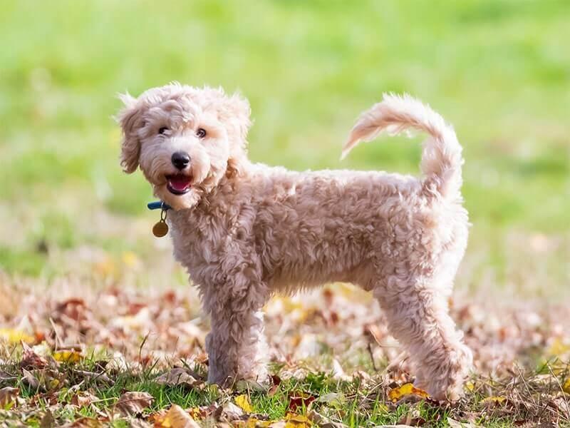 poochon-puppy